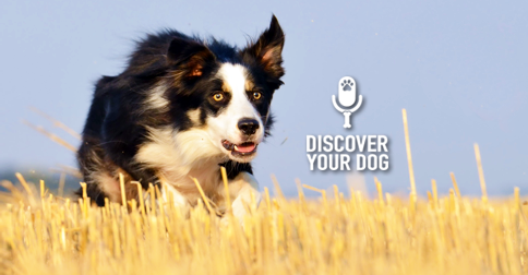 Discover Your Dog - Border Collie Pic
