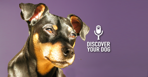 Discover Your Dog - Min Pin Pic