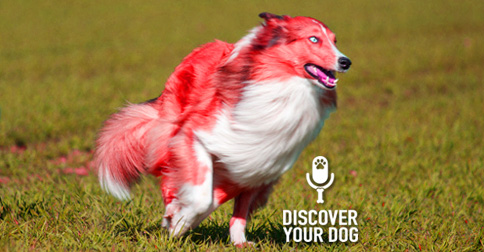 Discover Your Dog - Collie Picture